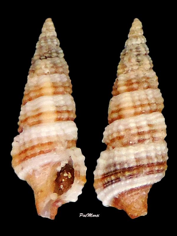 Cerithium zonatum - (W. Wood, 1828) Cerith13