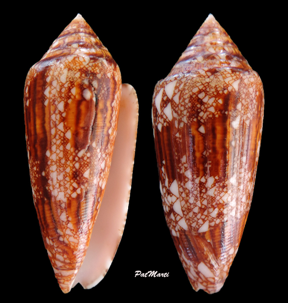 Conus (Cylinder) aureus paulucciae   GB Sowerby III, 1887 Conus-18