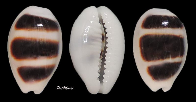 Palmadusta asellus - (Linnaeus, 1758) Cyp-as10
