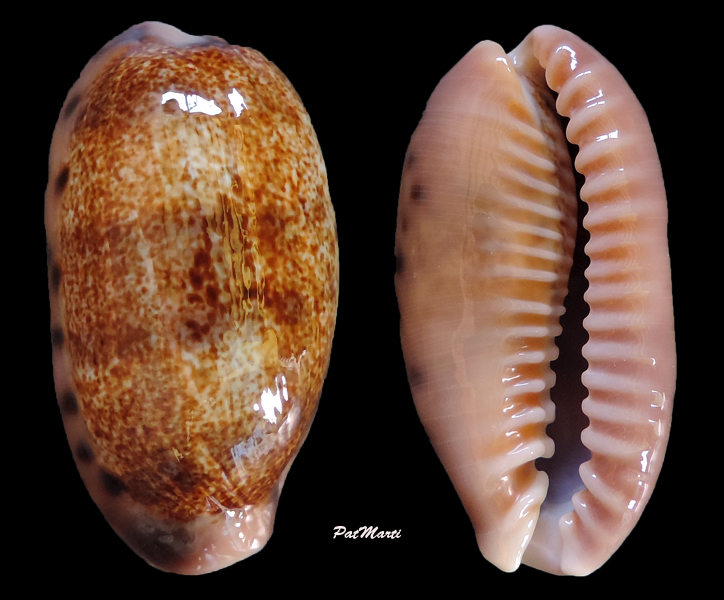 Erronea caurica caurica - (Linnaeus, 1758) Cyp-ca10