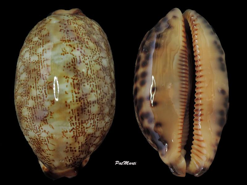 Mauritia eglantina - (Duclos, 1833) - Page 3 Cyp-eg10