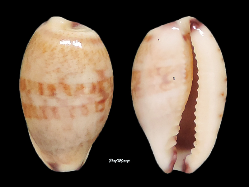 Purpuradusta fimbriata quasigracilis - Lorenz, 1989 Cyp-fi10