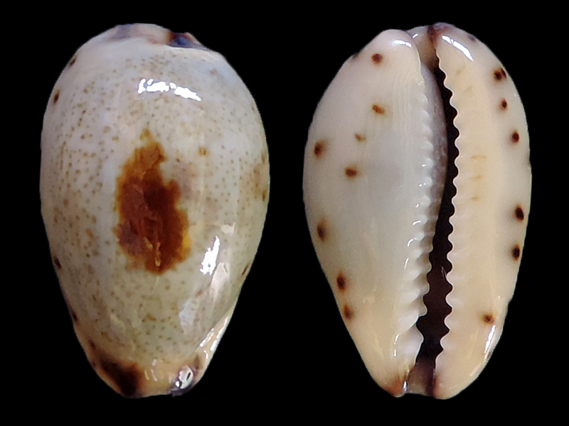 Purpuradusta gracilis macula - (Angas, 1867) Cyp-gr10