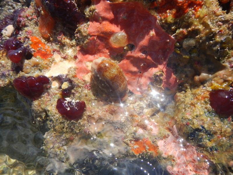Erronea caurica caurica - (Linnaeus, 1758) Dscn6310