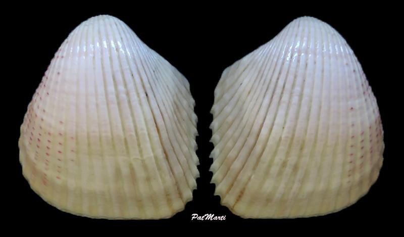 Fragum unedo - (Linnaeus, 1758)  Fragum10