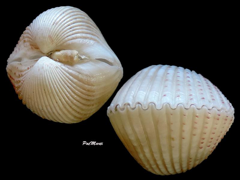 Fragum unedo - (Linnaeus, 1758)  Fragum11