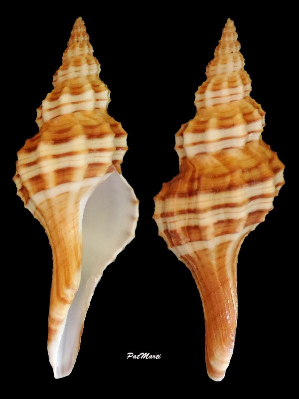 Granulifusus consimilis - Garrard, 1966 Granul10