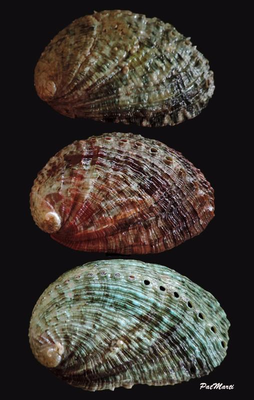 Haliotis tuberculata tuberculata - Linnaeus, 1758 Haliot13