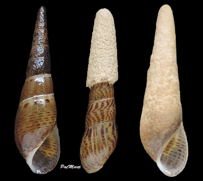 Melanoides plicaria - (Born, 1778) & Faunus ater - Linnaeus, 1758 Melano11