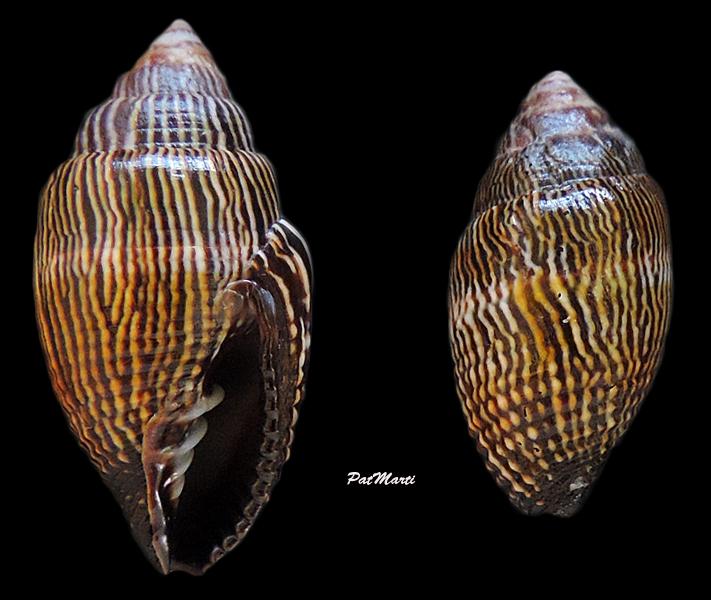 Strigatella retusa - (Lamarck, 1811)  Mitra-11