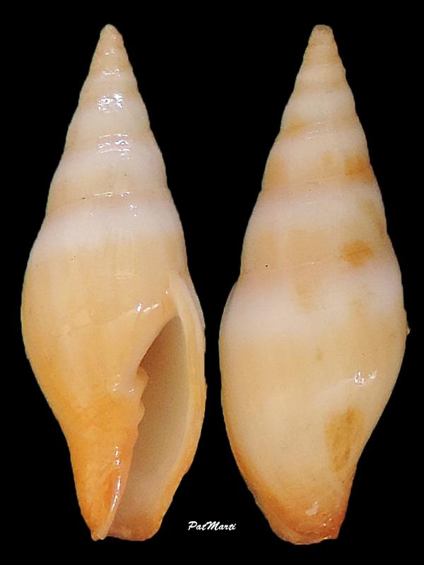 Espéces non décrites de Nlle Calédonie - d'après Mitridae Mitra-14