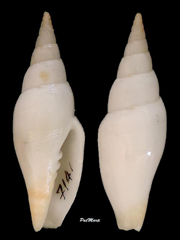 Espéces non décrites de Nlle Calédonie - d'après Mitridae Mitra-15