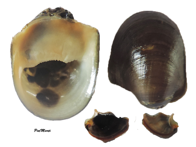 Neripteron taitense - (Lesson, 1831)  Neript10