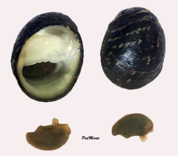Clithon chlorostoma - (Sowerby I, 1833) Nerita10