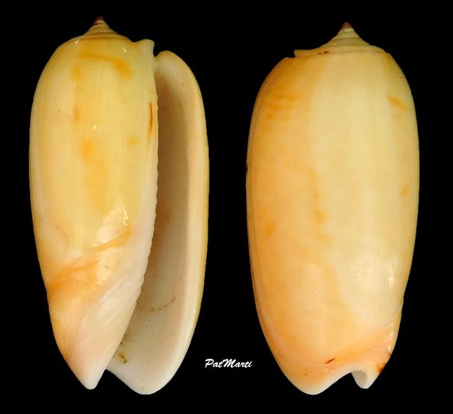 Viduoliva elegans (Lamarck, 1811) Oliva-11