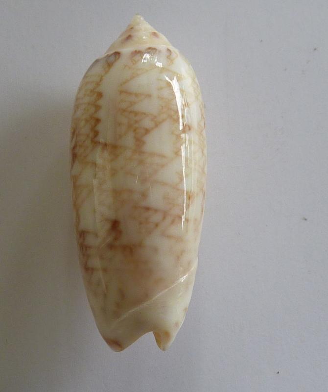Americoliva circinata jorioi (Petuch, 2013) - Worms = Oliva circinata circinata Marrat, 1871 P1050810
