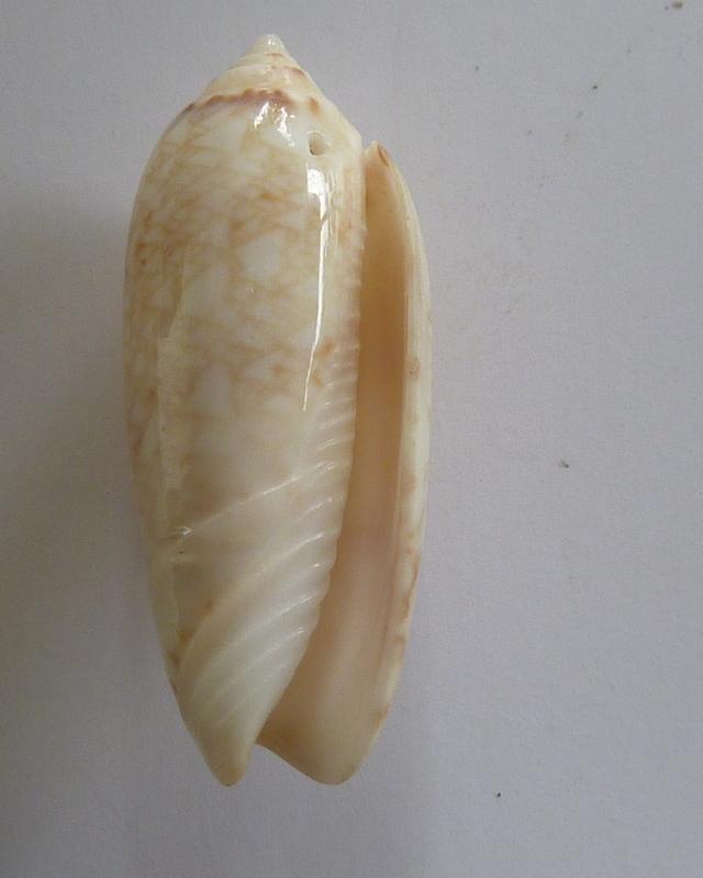 Americoliva circinata jorioi (Petuch, 2013) - Worms = Oliva circinata circinata Marrat, 1871 P1050811