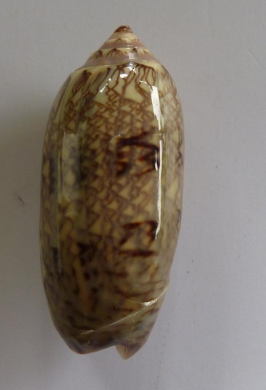 Americoliva circinata jorioi (Petuch, 2013) - Worms = Oliva circinata circinata Marrat, 1871 P1050812