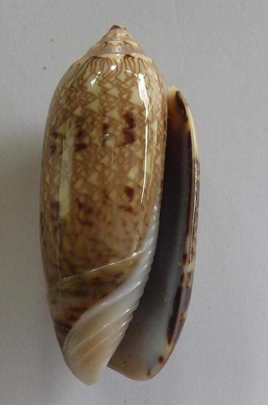 Americoliva circinata jorioi (Petuch, 2013) - Worms = Oliva circinata circinata Marrat, 1871 P1050813