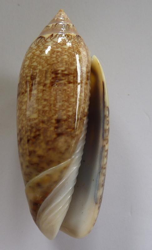 Americoliva circinata jorioi (Petuch, 2013) - Worms = Oliva circinata circinata Marrat, 1871 P1050815