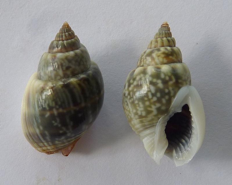 Nassarius graphiterus - (Hombron & Jacquinot, 1848) P1080533