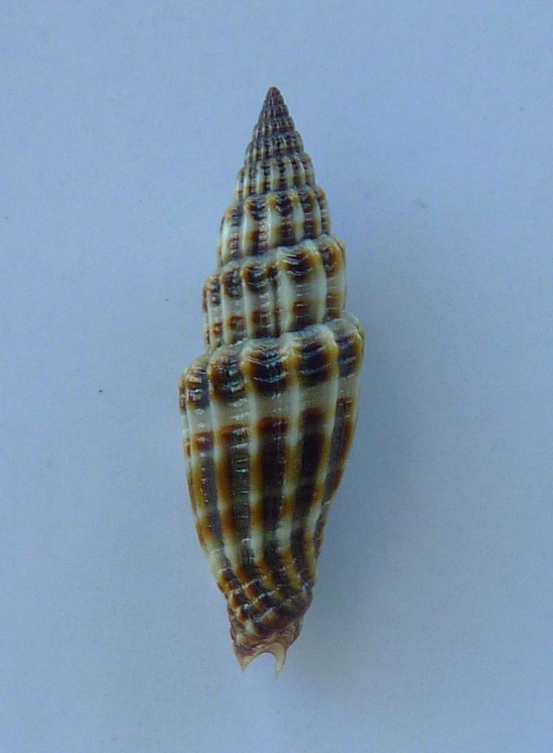 Vexillum suluense - (A. Adams & Reeve, 1850)  P1080613