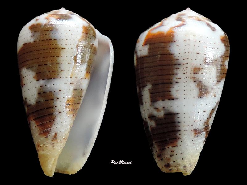 Conus (Pionoconus) striolatus  (Kiener, 1848) - Page 2 Pionoc10