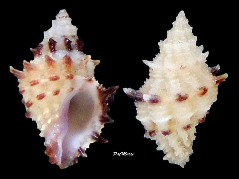 Spinidrupa euracantha - (A. Adams, 1853) Spinid10