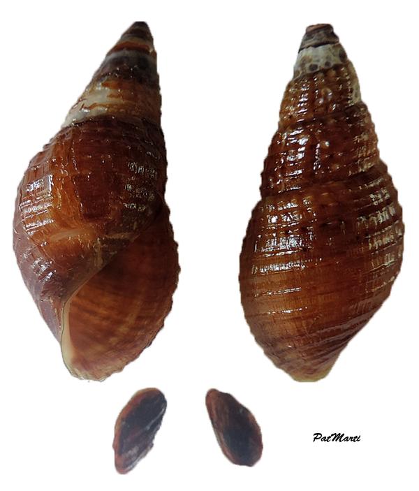 Tarebia granifera - (Lamarck, 1816) - de Guadeloupe Tarebi10