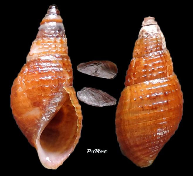 Tarebia granifera - (Lamarck, 1816) - de Guadeloupe Tarebi11