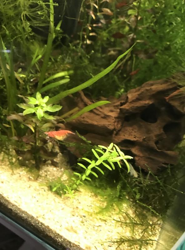 Jaune abdomen red cherry Img_2216