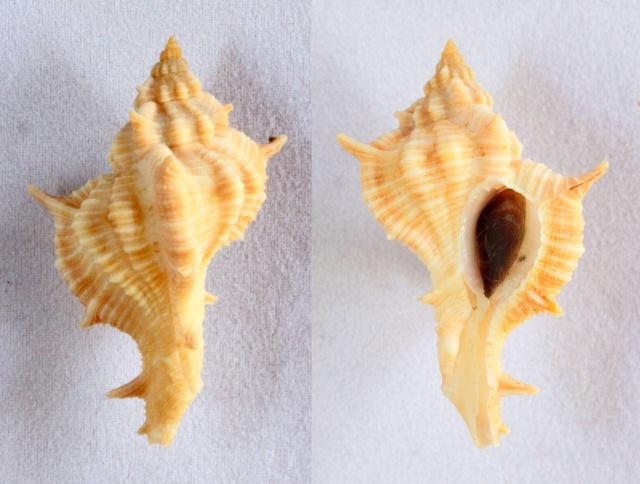 Siratus springeri - (Bullis, 1964)  Panora23