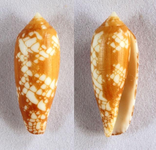 Conus (Darioconus) aulicus f. gracianus (da Motta, 1982) Panora30
