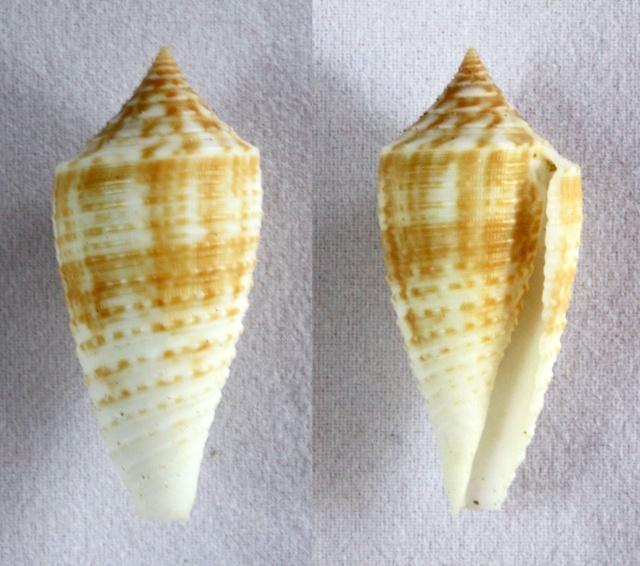 Conus (Phasmoconus) asiaticus   da Motta, 1985 Panora33