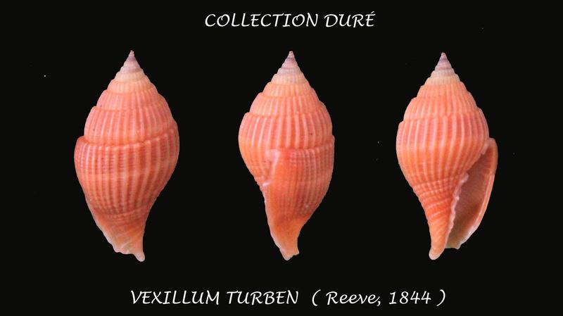 Vexillum turben - (Reeve, 1844) Panora36
