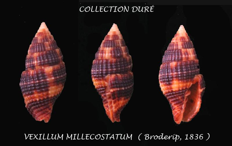 Vexillum millecostatum - (Broderip, 1836) Panora37