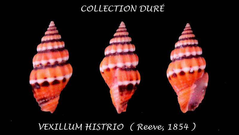 Vexillum histrio - (Reeve, 1844) Panora43