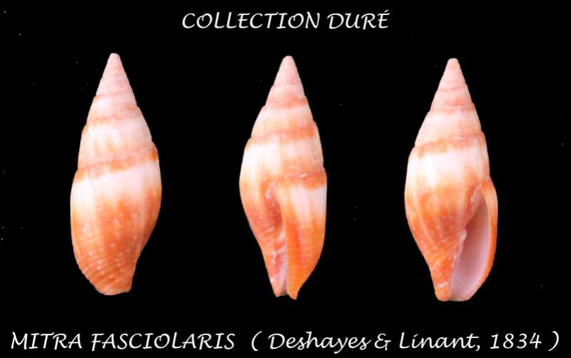 Strigatella fasciolaris - (Deshayes, 1834) Panora45