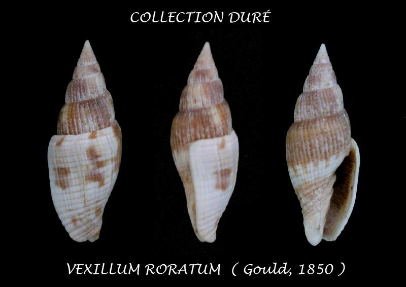 Vexillum roratum - (Gould, 1850)  Panora46