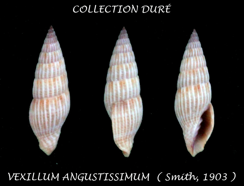 Vexillum angustissimum - (E. A. Smith, 1903) Panora47