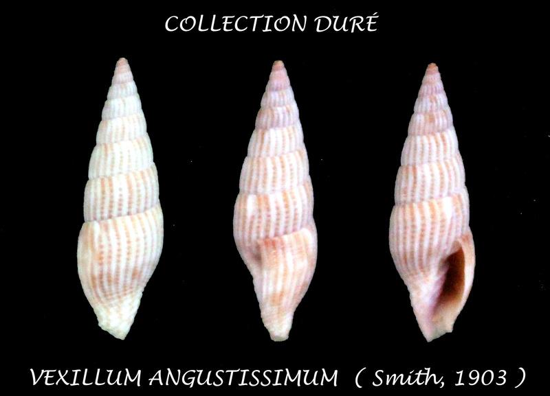 Vexillum angustissimum - (E. A. Smith, 1903) Panora48