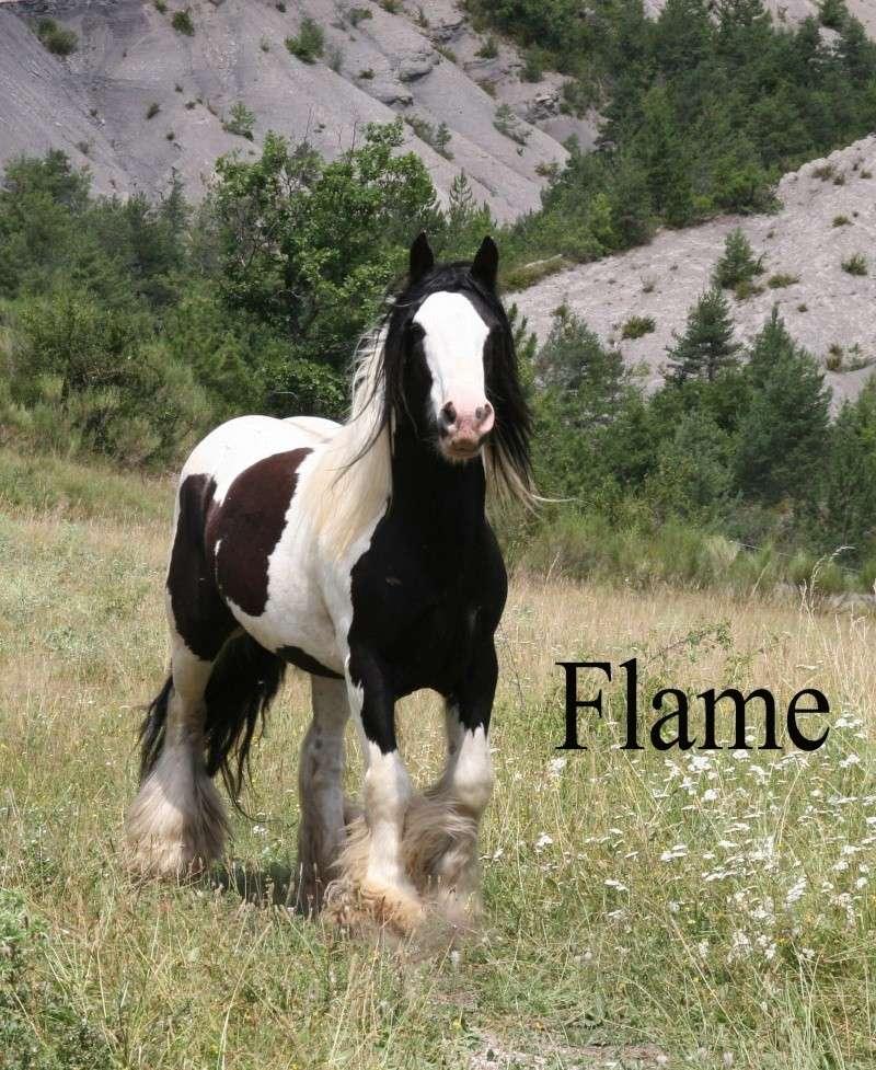 Irish cob du Couar Flame11