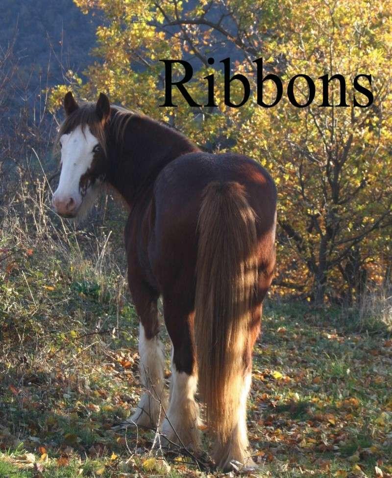 Irish cob du Couar Ribbon11