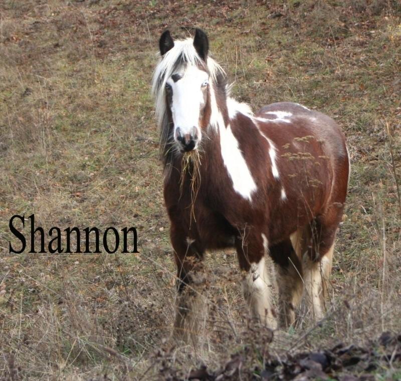 Irish cob du Couar Shanno11