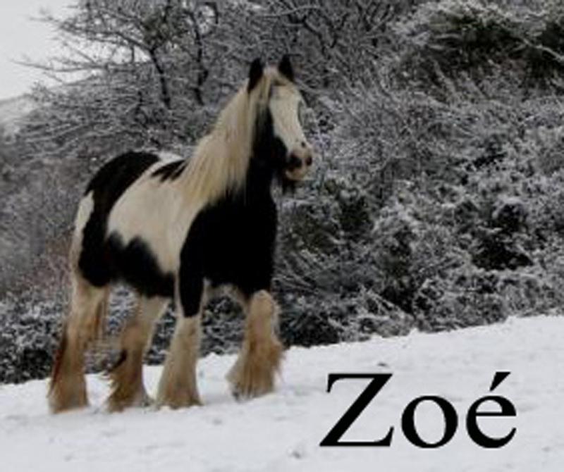 Irish cob du Couar Zoe12