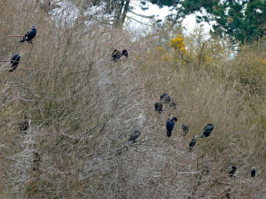 Colonie de cormorans P1050310