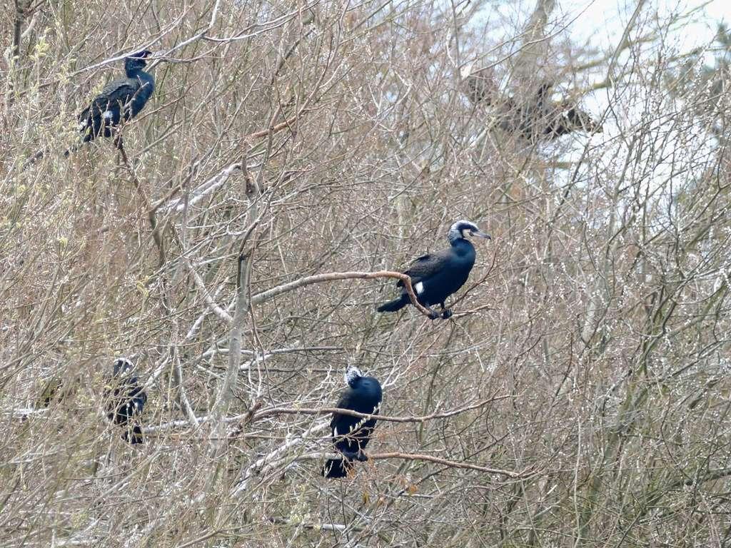 Colonie de cormorans P1050311