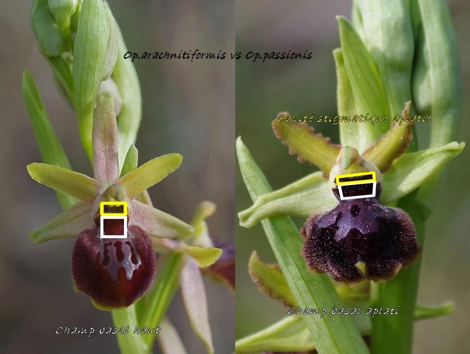 passionis vs arachnitiformis Arachn10