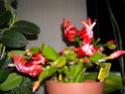 cactus de Noel Dscn5911