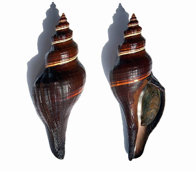 Pugilina morio - (Linnaeus, 1758) 12050410